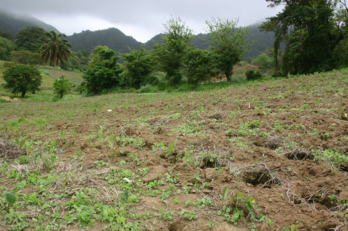 An example of holes being used in dasheen cultivation